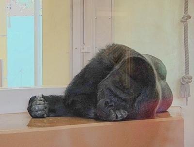 190103 東山zoo_ゴリラ1.JPG