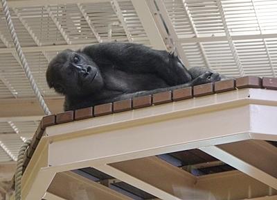 190103 東山zoo_ゴリラ2.JPG