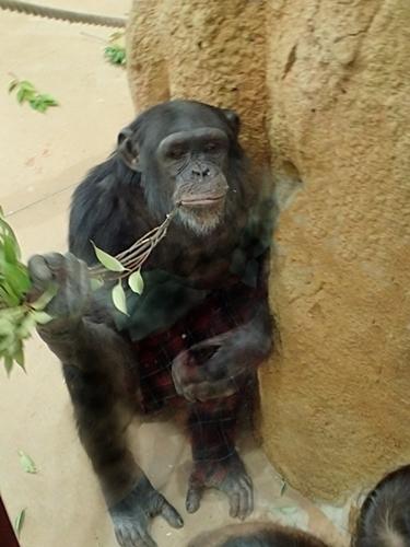 190103 東山zoo_チンパンジー2.JPG