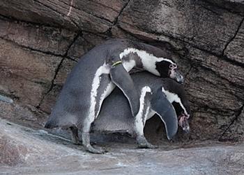190103 東山zoo_ペンギン_フンボルトs.JPG