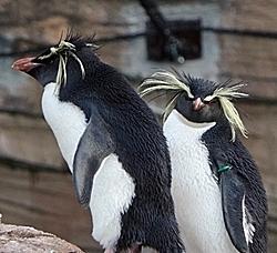 190114 1811東山zoo_イワトビペンギン.JPG