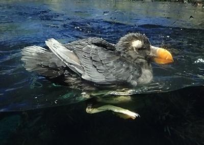 1903 鴨川シーワールド_71_(454)エトピリカ若鳥.JPG