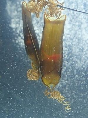 190601 東大水族館0518 (213)トラザメの卵.JPG