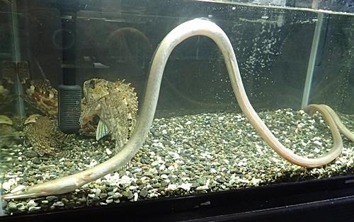 190601 東大水族館0518(227)ダイナンウミヘビ.JPG