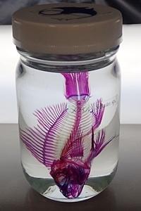190601 東大水族館0518(243)透明標本メバル.JPG