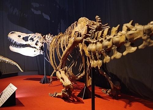 1907科博_恐竜博2019_25 (40)タルボサウルス.JPG