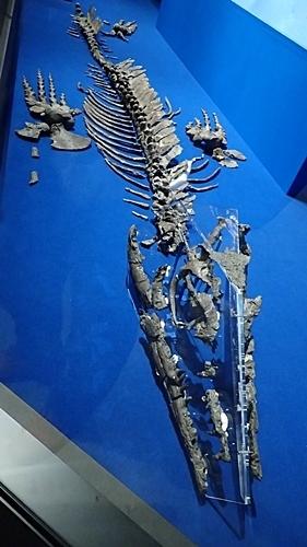 1907科博_恐竜博2019_48(162)_モササウルス類_全身_和歌山.JPG