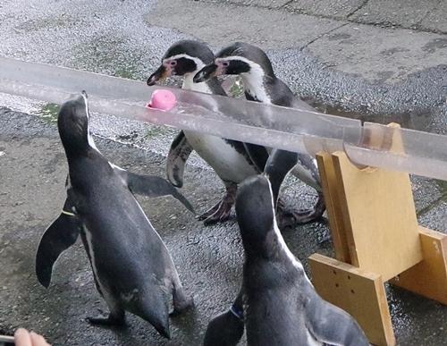 190825 小諸市zoo18_0817p (119)フンボルトペンギン_流しアジ_追っかけ.JPG