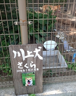 190825 小諸市zoo60_0817o (235)川上犬_さくら.JPG