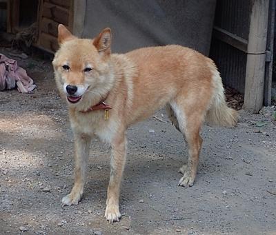 190825 小諸市zoo61_0817o (236)川上犬_さくら.JPG