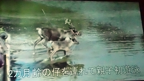 191208エンリッチメント大賞037_1207  (140)スライド_大森山動物園_トナカイ_放牧.JPG