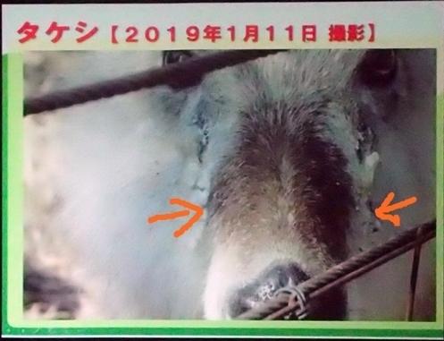 191231エンリッチメント大賞161_1207 (230)スライド_飯田市立動物園_ニホンカモシカtakeshi .JPG