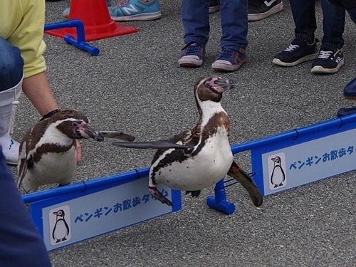 200119志摩マリンランド_18-2_190331p (102)フンボルトペンギン_おさんぽハードル.JPG