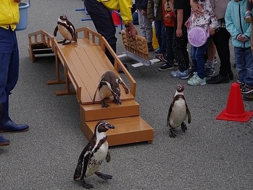 200119志摩マリンランド_18-3_190331p (113)フンボルトペンギン_おさんぽ.JPG
