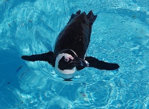200119志摩マリンランド_22_190331p (24)ケープペンギン_泳ぐ.JPG