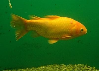 200119志摩マリンランド_78_190331o (780)大脱走した奇跡の金魚.JPG
