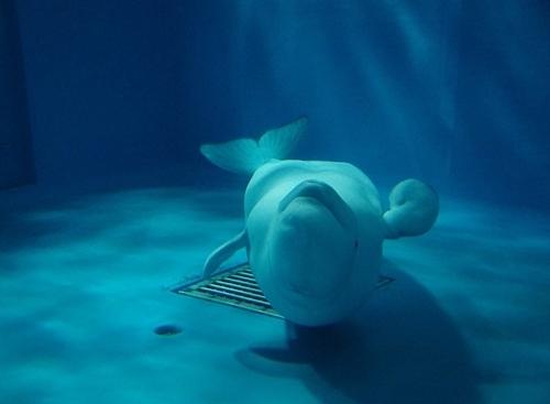 200229 しまねAQUAS_26_0208p (433)シロイルカ_プール_アーリャ_逆さ泳ぎでこっち向かって来る.JPG