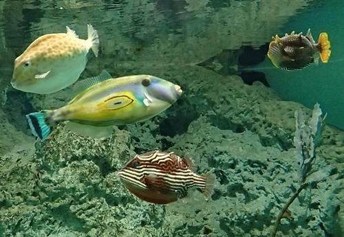 200314_12しものせき海響館0209o (40)フグ_オーストラリア水槽.JPG