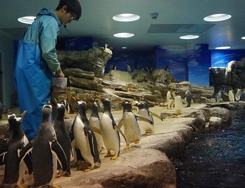 200314_130海響館0209p (675)ペンギン大編隊_第2部_えさに集まるジェンツーペンギン.JPG