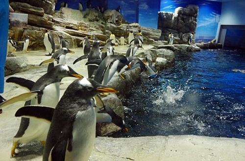 200314_131海響館0209p (683)ペンギン大編隊_第2部_ジェンツーダイブ.JPG