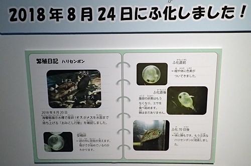 200314_16しものせき海響館0209o (106)ハリセンボンの赤ちゃん.JPG