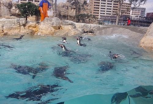 200322_12 海響館0209p (105)フンボルトペンギン特別保護区_水中でえさやり.JPG