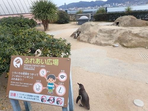 200322_70 海響館0209o (288)フンボルトペンギン_ふれあい広場.JPG