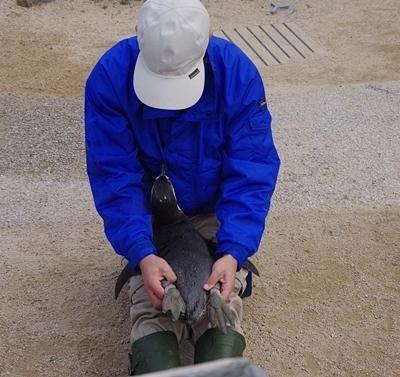 200322_84 海響館0209p (981)フンボルトペンギン_ふれあい広場_トレーニング.JPG