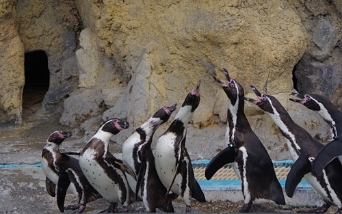 200322_92 海響館0209p (807)フンボルトペンギン_6羽のうち1羽がキャッチ.JPG