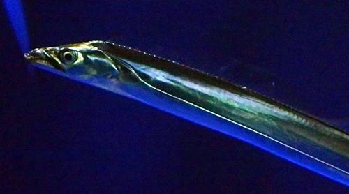 200323 21マリンワ海の中道0210o (280)タチウオ_アップ.JPG