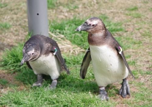 200323 63マリンワ海の中道0210p (172)ケープペンギン_亜成鳥.JPG