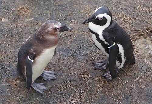 200323 69マリンワ海の中道0210p (226)ケープペンギン_亜成鳥と成体.JPG