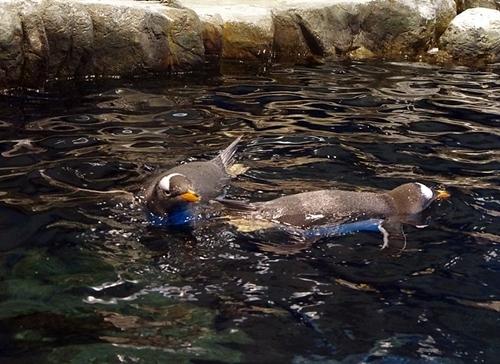 200426ジェンツー週間_海響館20200209p (519)ジェンツーペンギン_水面_泳ぐ_2羽.JPG