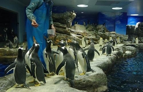 200426ジェンツー週間_海響館20200209p (677)ペンギン大編隊_第2部_えさに集まる.JPG