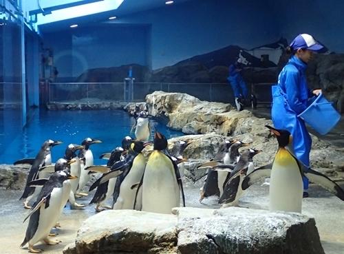 200426ジェンツー週間_長崎ペンギン水180721o (369)お食事タイム.JPG