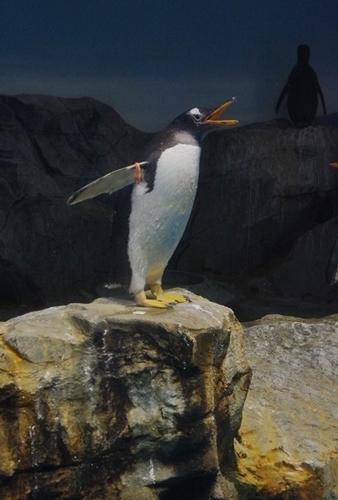 200426ジェンツー週間_長崎ペンギン水180721p (92)ジェンツーペンギン.JPG