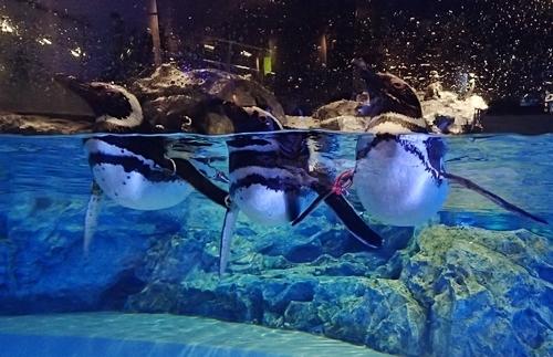 200628すみだ水族館_23_0624o (52)マゼランペンギン_水面_3羽並ぶ.JPG