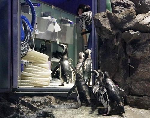 200628すみだ水族館_25_0624p (127)マゼランペンギン_控えに突入.JPG