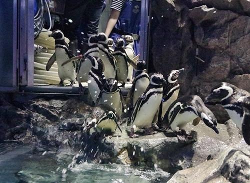 200628すみだ水族館_26_0624p (148)マゼランペンギン_バックヤードからぞろぞろ.JPG