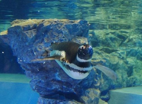 200628すみだ水族館_27_0624p (373)マゼランペンギン_水中_潜ろうとして浮かんでくる.JPG