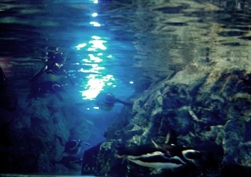 200628すみだ水族館_31_0624p (239)マゼランペンギン_水中_逆光_群れ.JPG