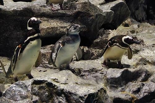 200712すみだ水族館_12_0711 p (174)○マゼランペンギン_きなこ_プールデビュー_両親と.JPG