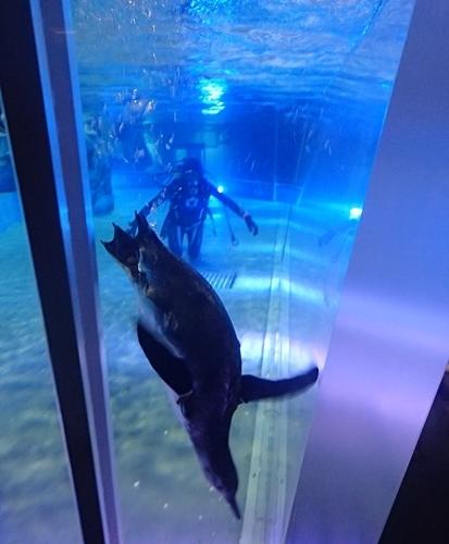 200712すみだ水族館_24_0711o (45)マゼランペンギン_きなこプールデビュー.JPG