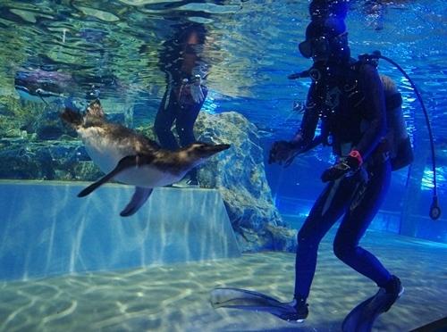 200712すみだ水族館_25_0711p (220)マゼランペンギン_きなこプールデビュー.JPG