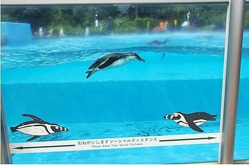 200809埼玉C zoo_60_0801o (4)フンボルトペンギン_亜成鳥_遊泳.MOV.jpg