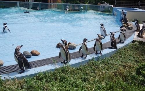 200809埼玉C zoo_63_0801p (66)フンボルトペンギン_等間隔で歩く.JPG