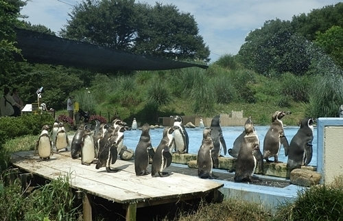 200809埼玉C zoo_64_0801R (18)フンボルトペンギン_密.JPG