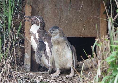 200809埼玉C zoo_67_0801p (672)フンボルトペンギン_親子_ひな.JPG