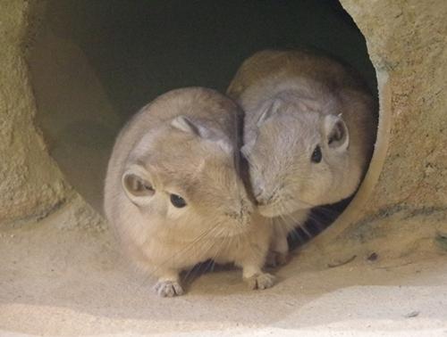 200809埼玉C zoo_75_0801p (564)グンディ.JPG