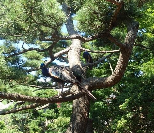 200823 伊豆シャボテン公園-101_0813o (50)松の木にクジャク.JPG